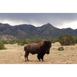 2 Day Bull Bison Hunt in New Mexico for 1 Hunter with Rancho De Chavez
