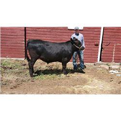 Pierce Mortenson - Beef - Weight: 1155