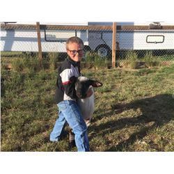 Hadley Hellie - Sheep - Weight: 119
