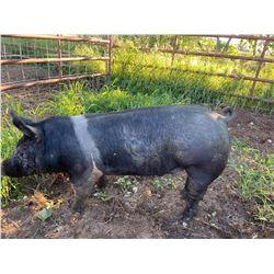 Tamela Abrahamson - Swine - Weight: 273