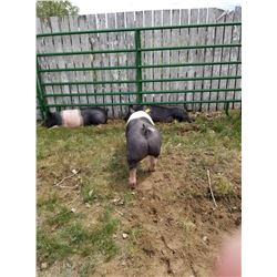 Finn Witmer - Swine - Weight: 237