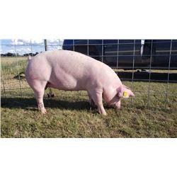 Tyler Arnold - Swine - Weight: 274