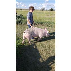 Duke Williamson - Swine - Weight: 281
