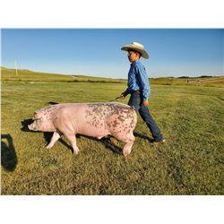 Titus Wiederrick - Swine - Weight: 289