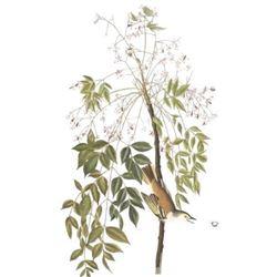 c1946 Audubon Print, #63 White-Eyed Vireo