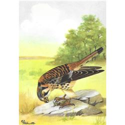 1920's Sparrow-Hawk Color Lithograph Print