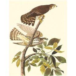 c.1950 Audubon Print, Merlin or Pigeon Hawk
