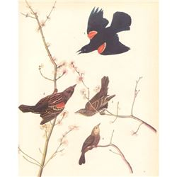 c1946 Audubon Print, #67 Red-Wing