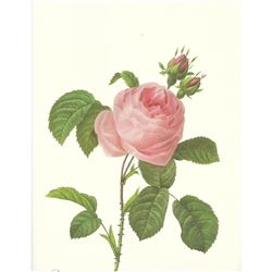 After Pierre-Jospeh Redoute, Floral Print, #118 Rosa centifolia ( Pale Rose )