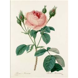 After Pierre-Jospeh Redoute, Floral Print, #124 Rosa Muscosa ( Rose )