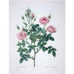 After Pierre-Jospeh Redoute, Floral Print, #133 Rosier Pompon ( Rose )