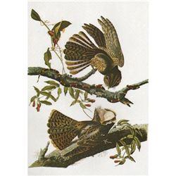 c1946 Audubon Print, #52 Chuck-Will's-Widow