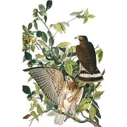 c1946 Audubon Print, #91 Broad-Winged Hawk