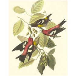 c1950 Audubon Print, White-Winged Crossbill