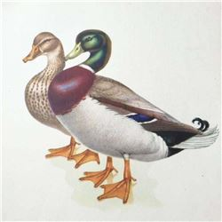 Original 1950 Book Plate Lithograph, Mallard Duck