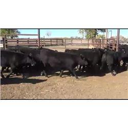 Hjelvik Ranch - 92 Steers