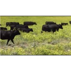HS Ranch Company - 85 Steers