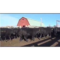 Derks Bros. Grain & Cattle - 275 Steers