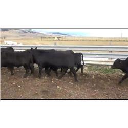 Alkali Lake Farms - 174 Steers