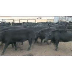 Bob Lytle Ranch - 95 Steers