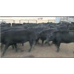 Bob Lytle Ranch - 105 Heifers
