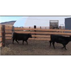 Jeff & Suzanne Harwood - 95 Steers