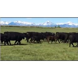 Pfeifer Ranch & Family - 73 Steers
