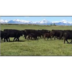 Pfeifer Ranch & Family - 76 Heifers
