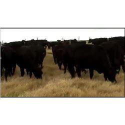 Tim & Tyson Rambo - 90 Steers
