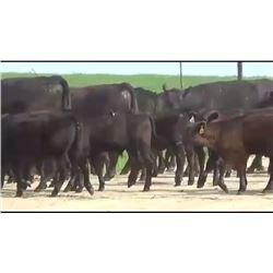 Elk Creek Cattle - 188 Steers