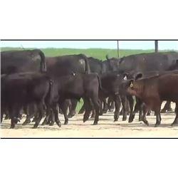 Elk Creek Cattle - 95 Replacement Heifers