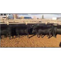 Robert & Deborah Gingerich - 45 Steers