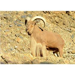 Aoudad Hunt Fully Guided 5 day New Mexico