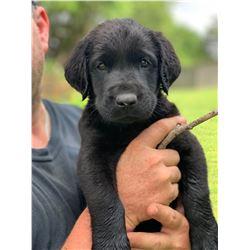 Grand Champion AKC Pointing Registered Black Lab Puppy