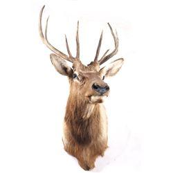 Montana Rocky Mountain 4x4 Elk Shoulder Mount