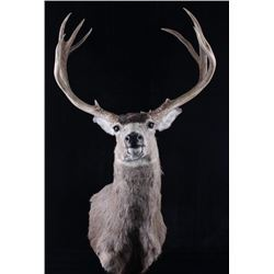 Montana Mule Deer Trophy Taxidermy Shoulder Mount