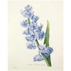 After Pierre-Jospeh Redoute, Floral Print, #66 Hacinthe d'Orient ( Hyacinth )