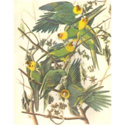 c1946 Audubon Print, #26 Carolina Paroquet