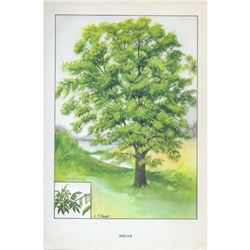 1920's Pecan Tree Color Lithograph Print