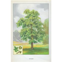 1920's Hickory Tree Color Lithograph Print