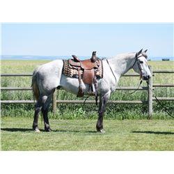 Rancher, 2012 QH Grey Gelding,  15:2.