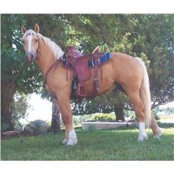 Cowboy, 2018 1/4 Belgian 1/4 Halflinger 1/2 QH Palomino Gelding,  14:3.