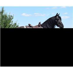 Black Knight, 2017 7/8 Friesan 1/8 Morgan Black Gelding,  15:2.