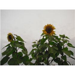 photo de deux Tournesol en floraison au jardin LangdonArt - 2 Sunflowers flowers LangdonArt photo