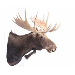Montana Shiras Moose Shoulder Mount