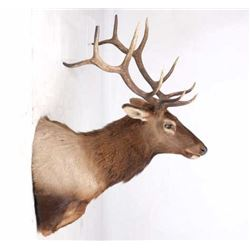 Montana Rocky Mountain 6x6 Elk Shoulder Mount