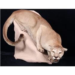 Montana Trophy Mountain Lion Taxidermy Body Mount