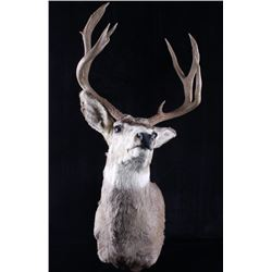 Trophy Montana Mule Deer Taxidermy Shoulder Mount