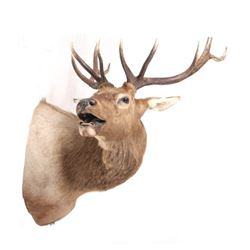 Montana Rocky Mountain 5x5 Bull Elk Shoulder Mount
