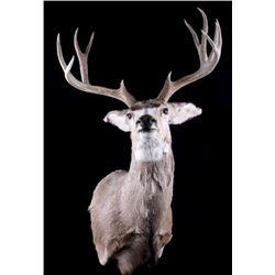 Trophy Montana Mule Deer Shoulder Mount